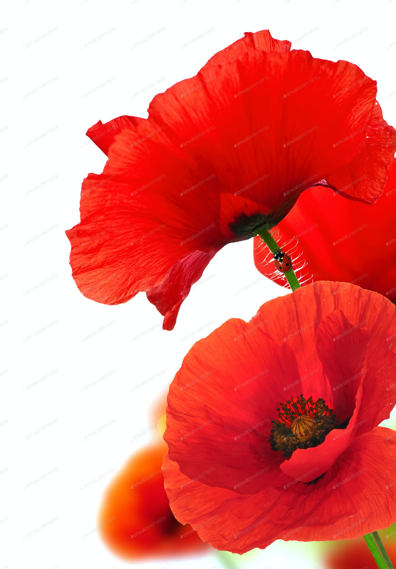 Red Poppy Flowers Over White Floral Background Photo By