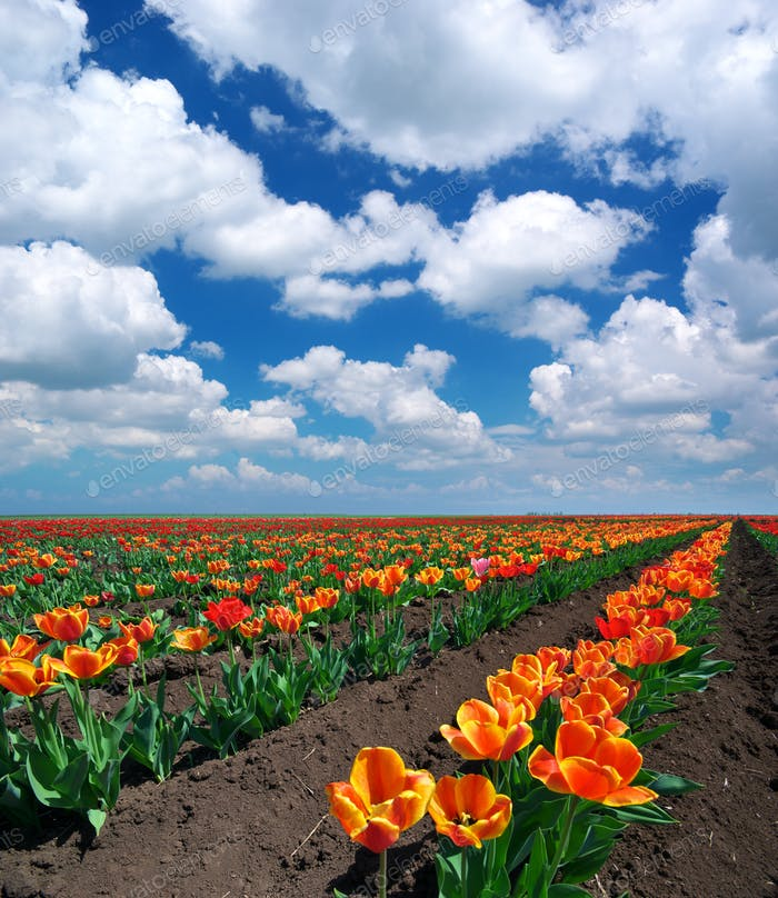 Meadow of tulips