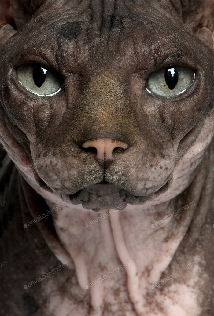 Sphynx (7 years old)