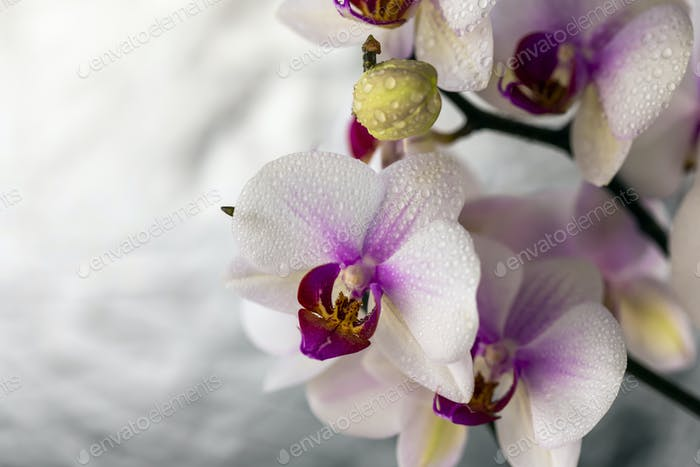 Beautiful orchid on a silver background. Blooming flowers