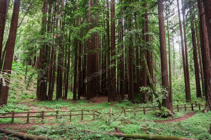 Redwood-Bäume (Sequoia sempervirens) Wald, Kalifornien
