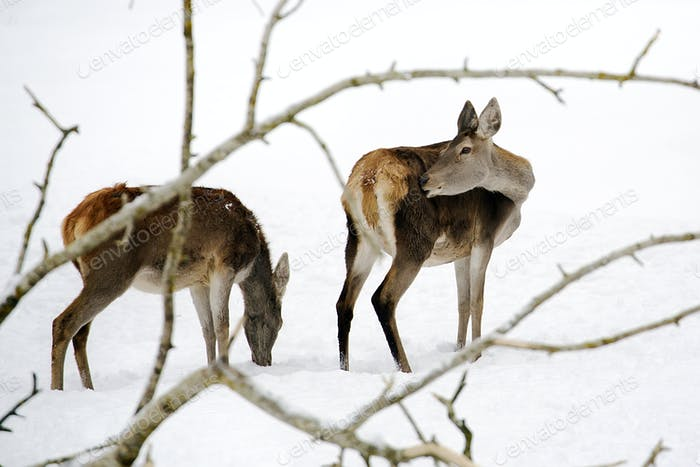 Red deers in the wild
