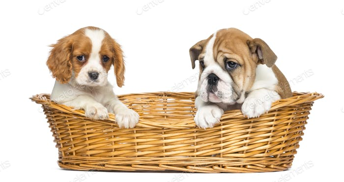 Cavalier King Charles and English Bulldog puppies, sitting in a wicker basket
