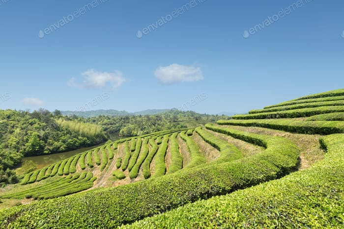 beautiful tea plantation in sunny spring