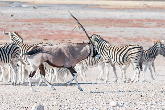 An oryx or gemsbok, running past Burchells zebras