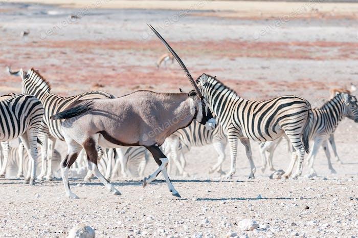 An oryx or gemsbok, running past Burchells zebras