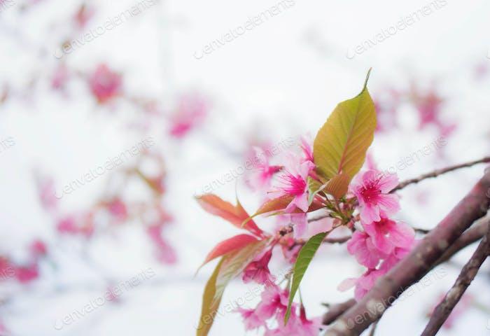 Colorful of sakura