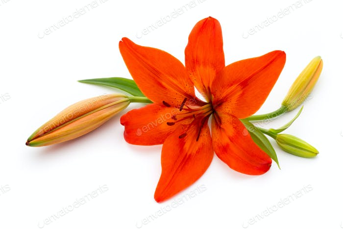 Lily flower with buds isolated on a white background.