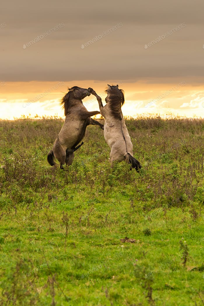 Two horses prancing at sunset