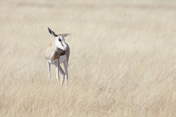 A Springbok antelope, Antidorcas marsupialis, standing in grassland.