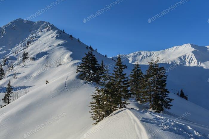 pine in winter