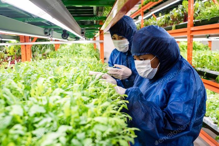 Forscher in schützenden Arbeitskleidung wählen neue Arten von Gartenbaupflanzen