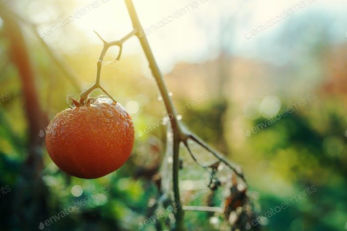 Ripe homegrown tomato in organic vegetable garden