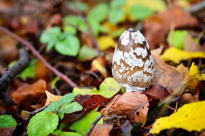 Herbstpilz (Copprinopsis picacea) im Wald
