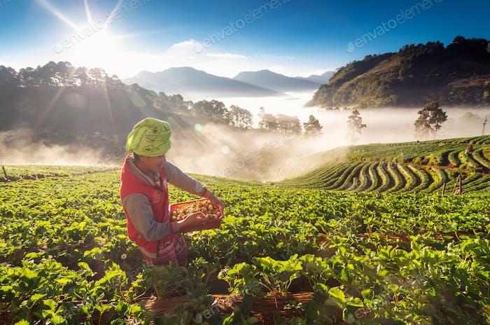 farmer pick in Strawberry fruit when sunrise