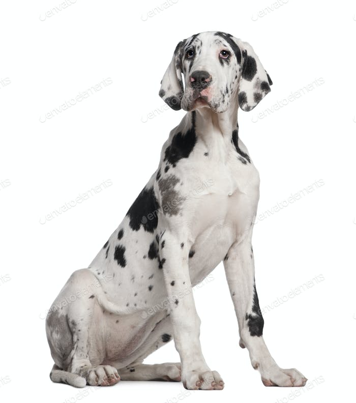 Great Dane puppy, 6 months old, sitting in front of white background