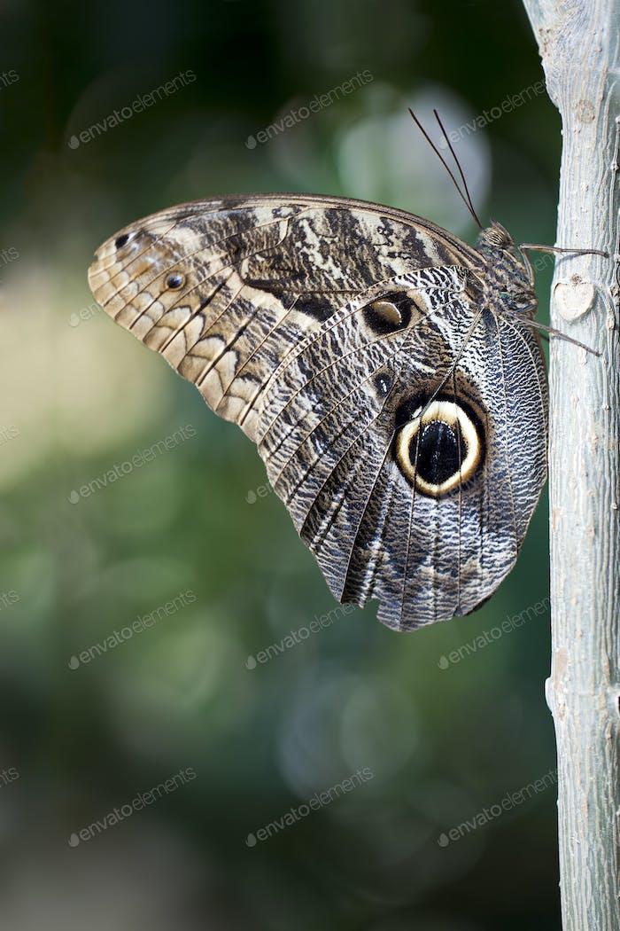 Eule Schmetterling
