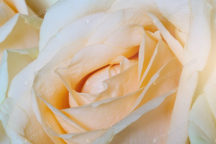 sweet color roses in soft color