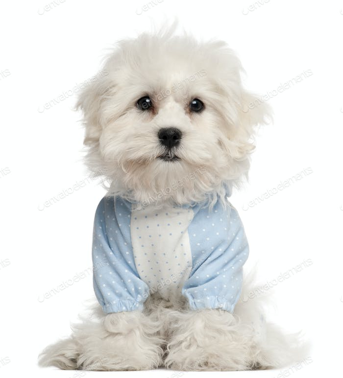 Maltese puppy dressed in blue, 3 months old, in front of white background