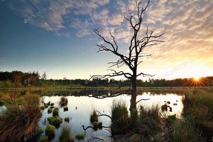 sunbeams behind dry tree on swamp