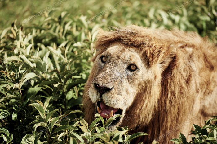 Close up of lion lying in the grass