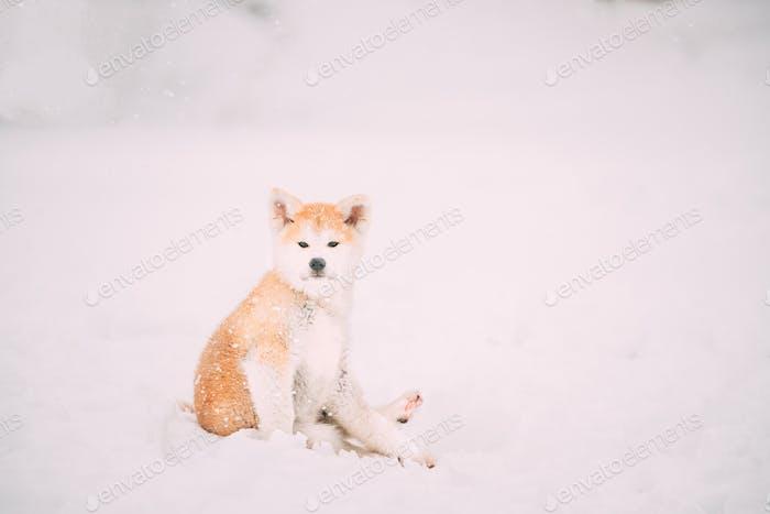 Beautiful Puppy Of Akita Dog Or Akita Inu, Japanese Akita Funny Sitting In Snow Snowdrift At Winter