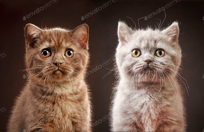 portrait of british kittens