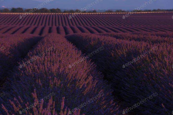 Lavanderfeld Frankreich
