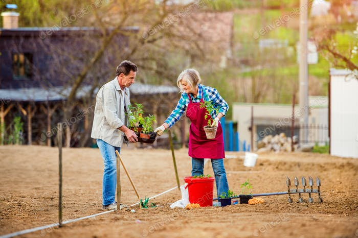 Senior couple planting seedling into the ground in back yard