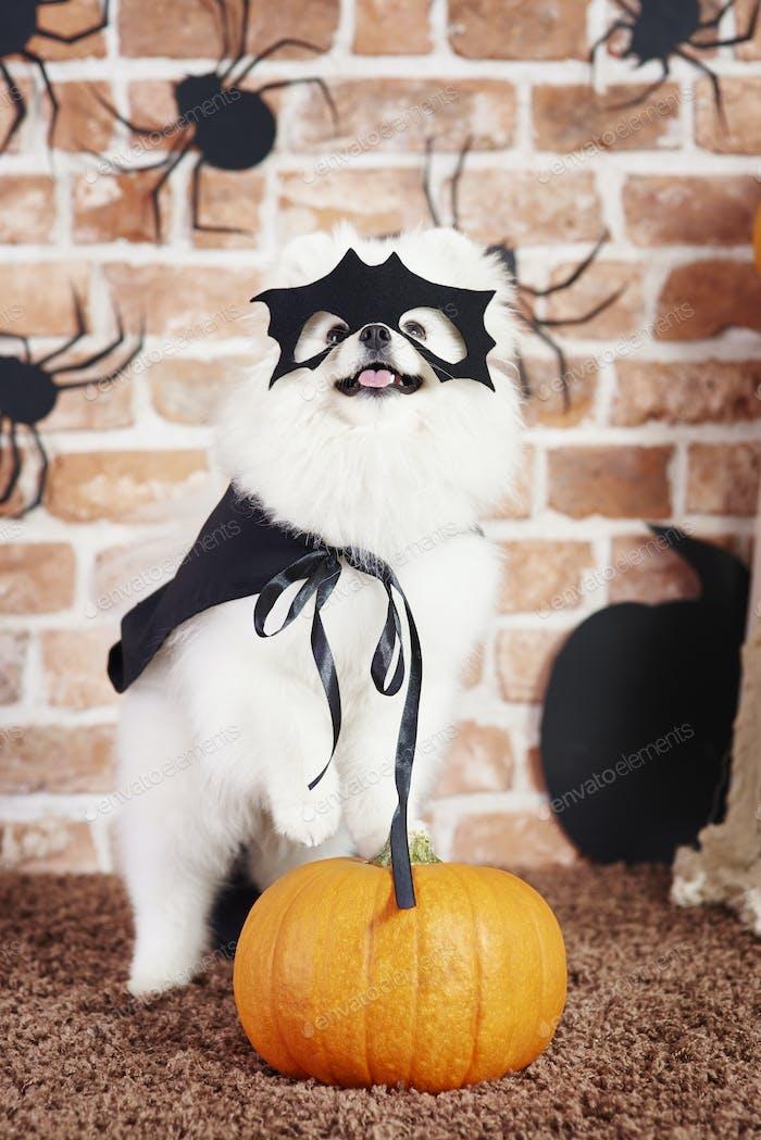 Dog in halloween costume standing on pumpkin