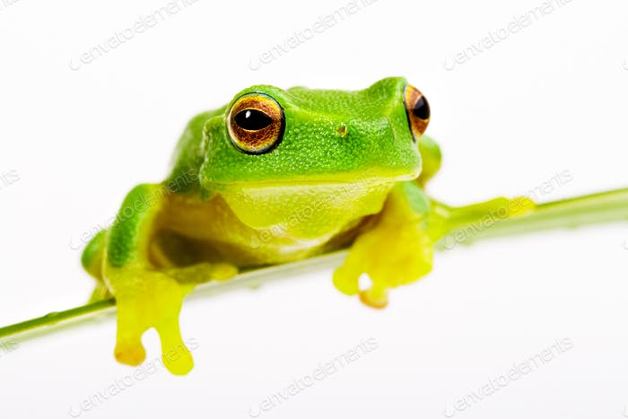 Green tree frog sitting on grass blade