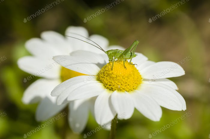 Green grasshopper on chamomille flower