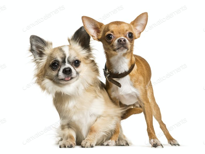 Two Chihuahua Dogs sitting together, cut out