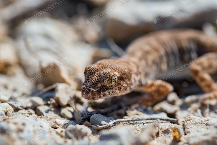 Nahaufnahme niedlich kleine Even-Fingered Gecko Gattung Alsophylax auf Boden