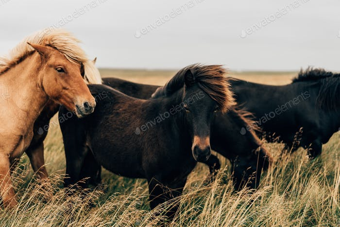 beautiful black and brown horses on pasture in Iceland