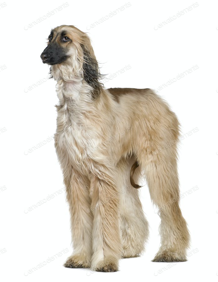 Thumbnail for Afghan hound with his hair in the wind, 1 year old, in front of white background
