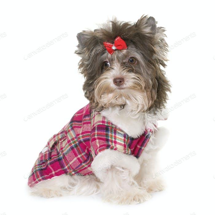 dressed puppy biro yorkshire terrier