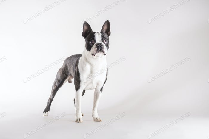 Full length of a young Boston Terrier dog
