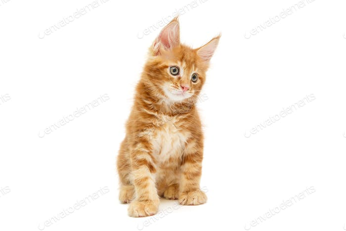 Small red Maine Coon kitten