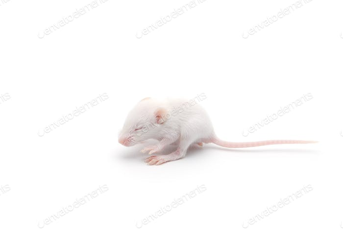 laboratory white mouse isolated on white background
