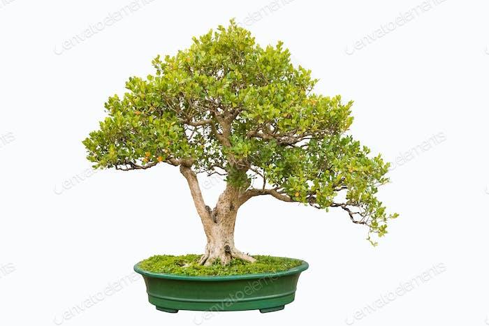 Bonsai Baum der chinesischen Littleleaf Box