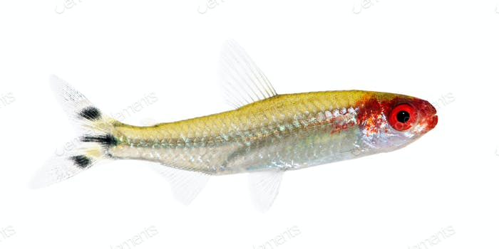 Hemigrammus bleheri fish