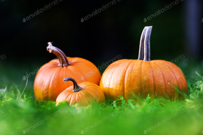 Orange pumpkins in garden grass