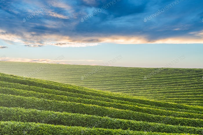 beautiful tea garden landscape