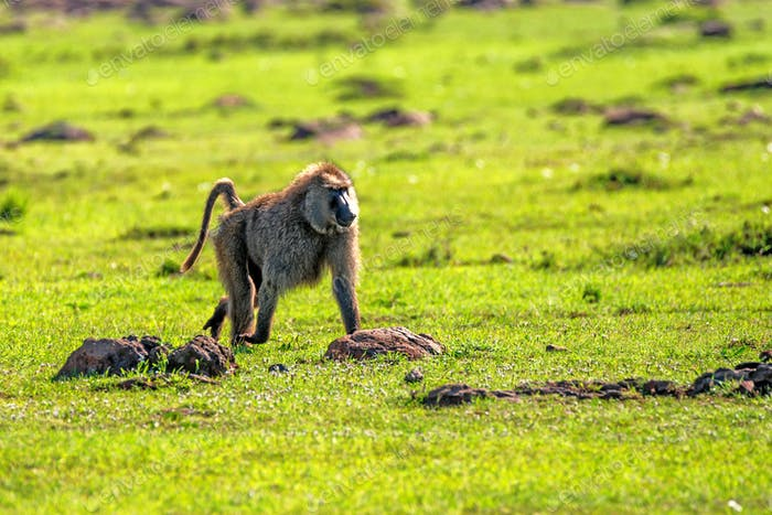 Baboon walks in green savannah in Africa