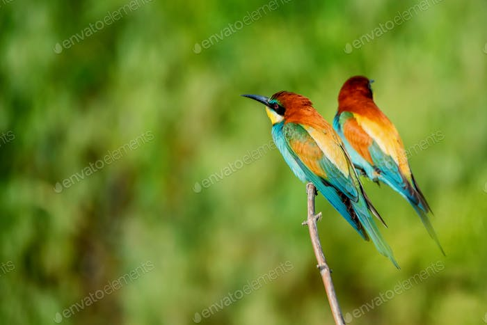 Pair of exotic colorful tropical birds bee-eaters