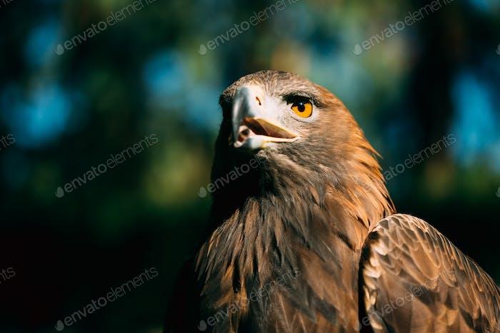 Eagle Haliaeetus albicilla auf grünem Gras Hintergrund