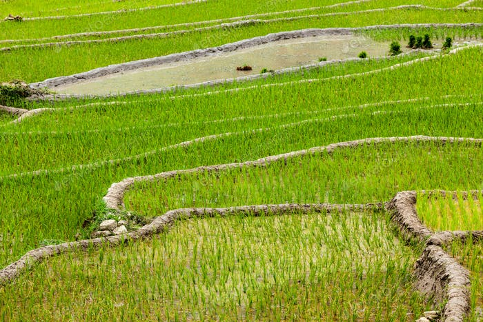 Rice plantations. Vietnam