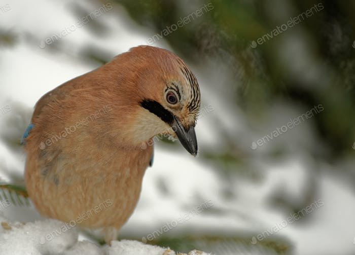 Jay( Garrulus glandarius) in winter