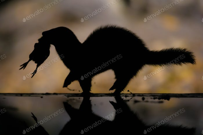 Polecat running with prey at night